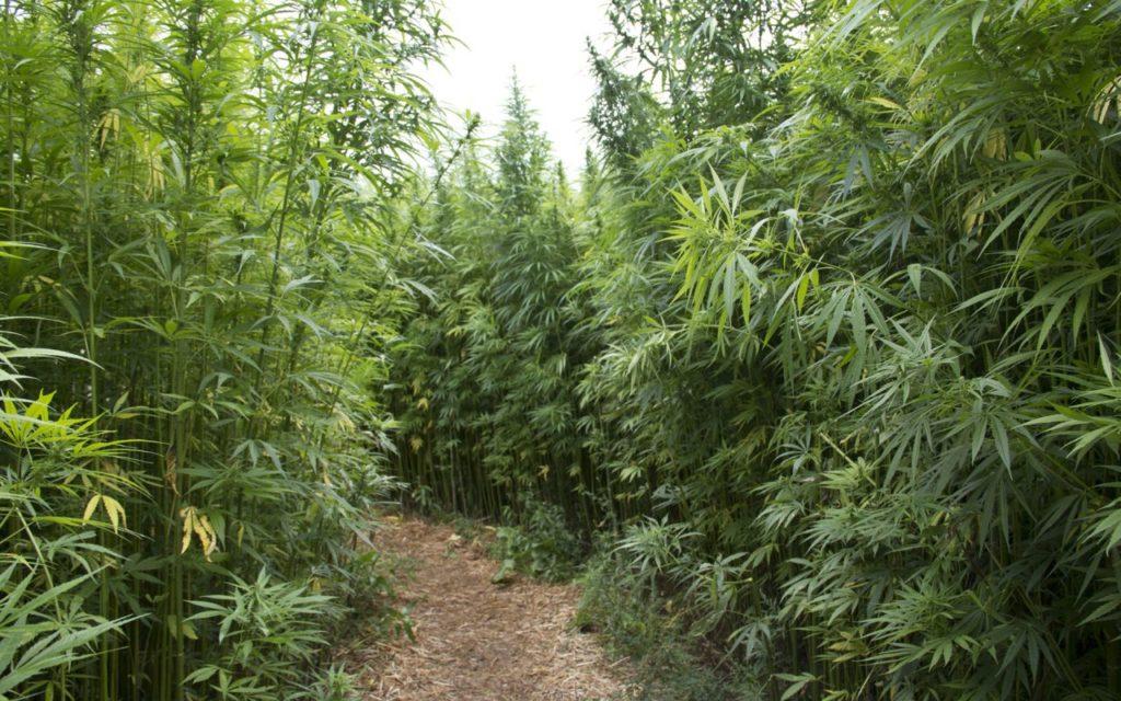 大麻産業に投資!CBD関連優良企業の見分け方