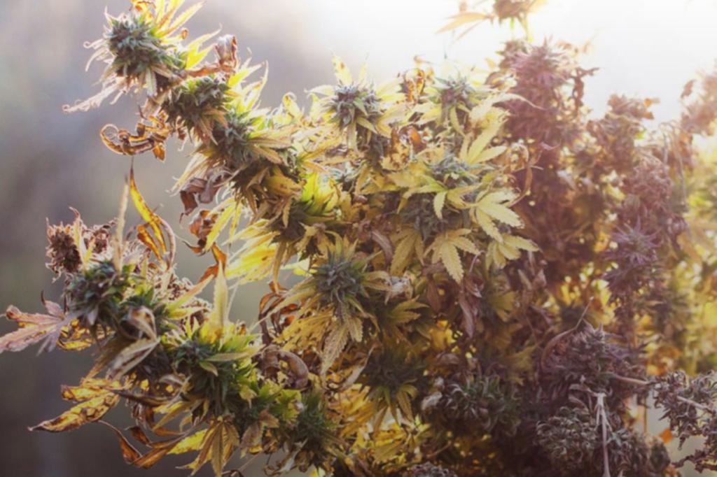 カリフォルニアで最高の大麻と言われる「Mids」とは何か?