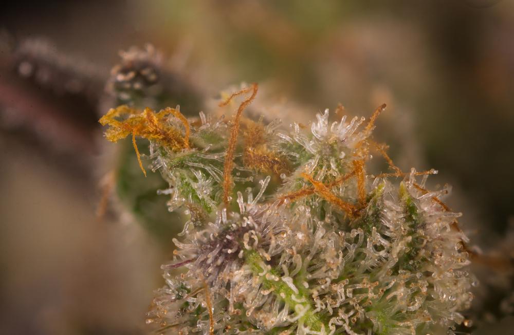 最も効果の強い大麻(マリファナ)TOP20を選出